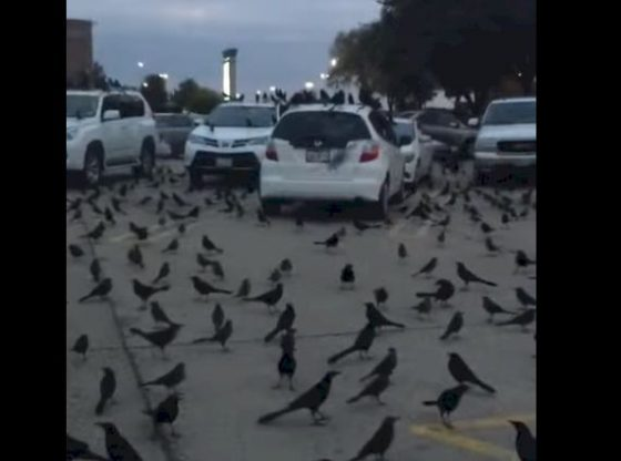 Coronavirus : Gare à cette vidéo tronquée d'une « invasion de corbeaux » aux Etats-Unis