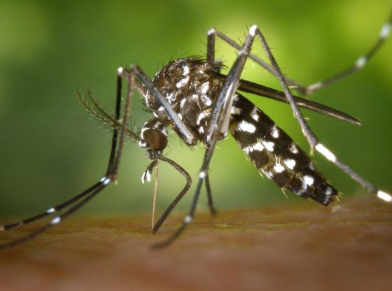 Non, le moustique tigre ne transmet pas le coronavirus